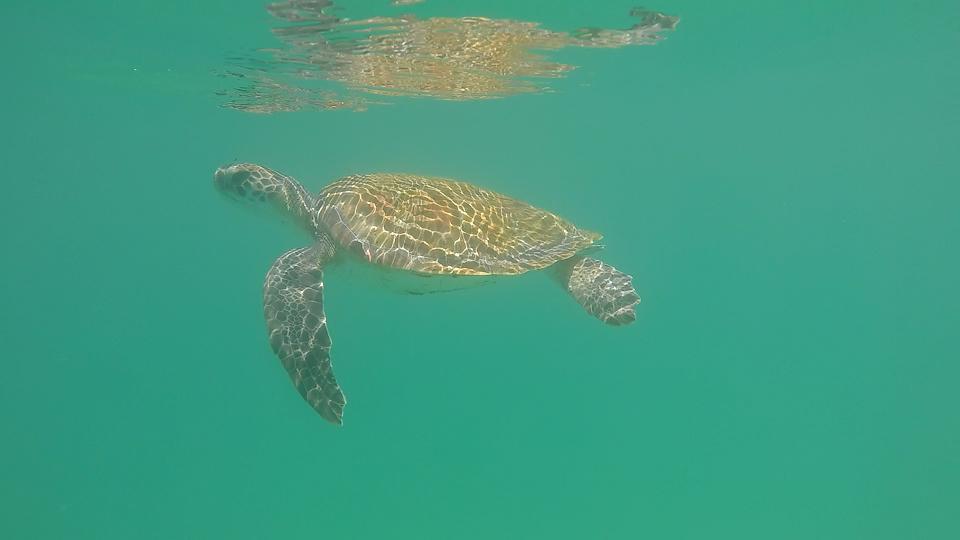 Tartaruga Praia do Forno Arraial do Cabo