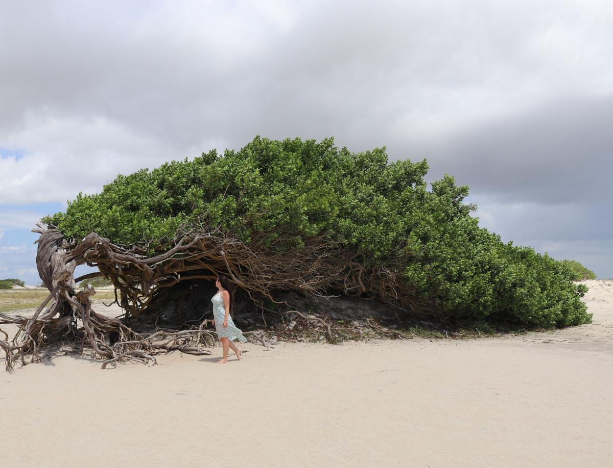 Árvore da Preguiça em Jericoacoara